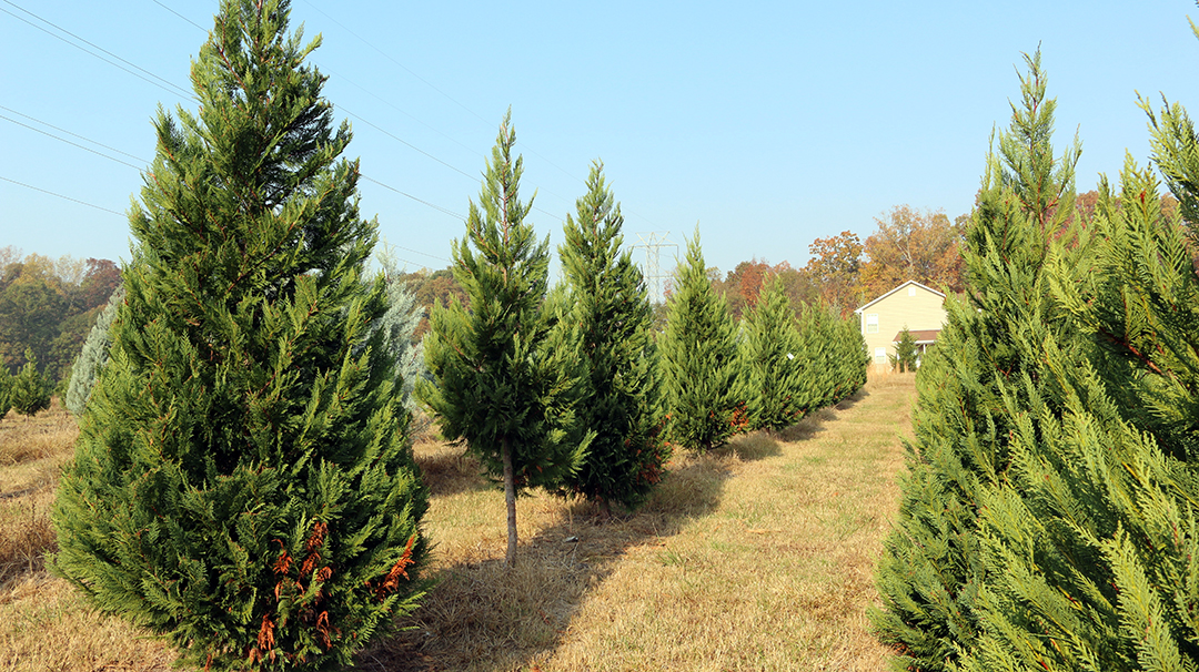 In 2015, fresh-cut tree sales totaled approximately 8,500 in South Carolina – an increase of 7% from 2014 – with an estimated value of about $500,000. (Photo provided)