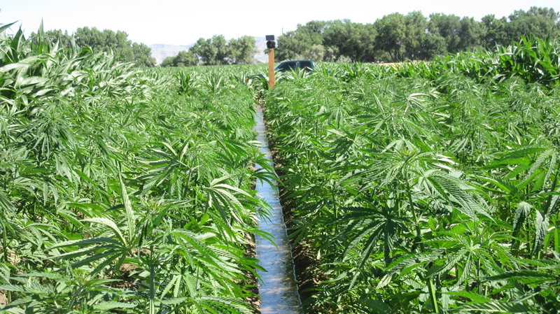 South Carolina recently passed a law enabling farmers to grow industrial hemp. Other states, including Colorado and Kentucky, have thousands of acres of hemp already in production. (Photo/Colorado Department of Agriculture)